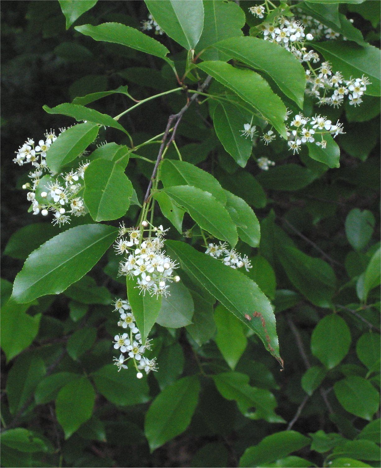 7 Plants That Can Do You Some Serious Harm Black Cherry Tree Tree Seeds Plants