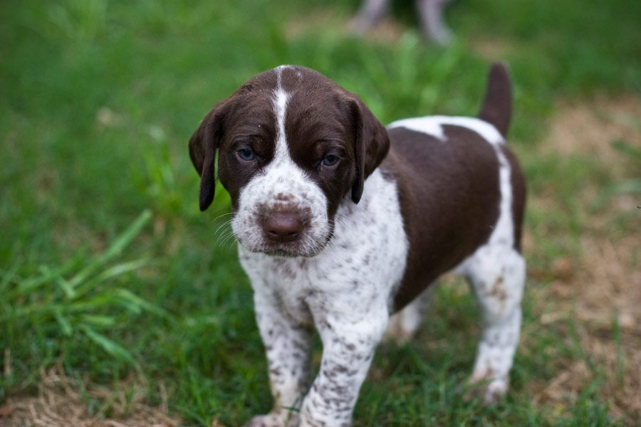 German Shorthair Pointer Puppy. Awweee! This one looks like my sweet ...