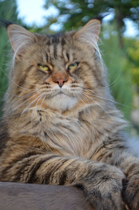 how to tell a maine coon cat