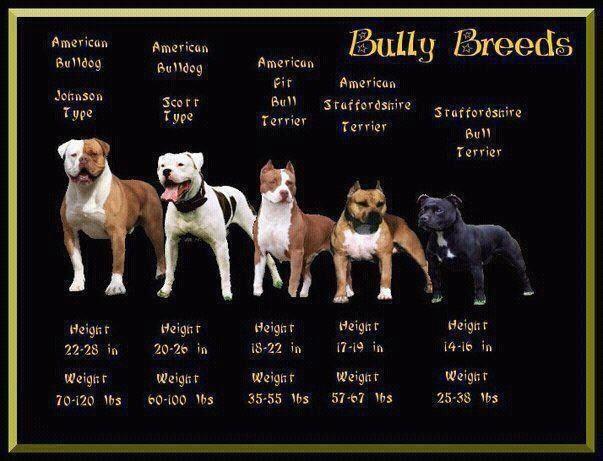 Staffordshire Bull Terrier Size Google Search アメリカンブルドッグ ピットブルテリア ピットブル