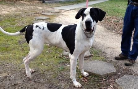 Adopt Daisy Lou On Great Dane Dogs Great Dane Mix Dogs
