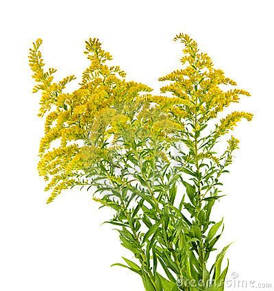 Goldenrod Google Search Goldenrod Kentucky State Flag Kentucky Flag