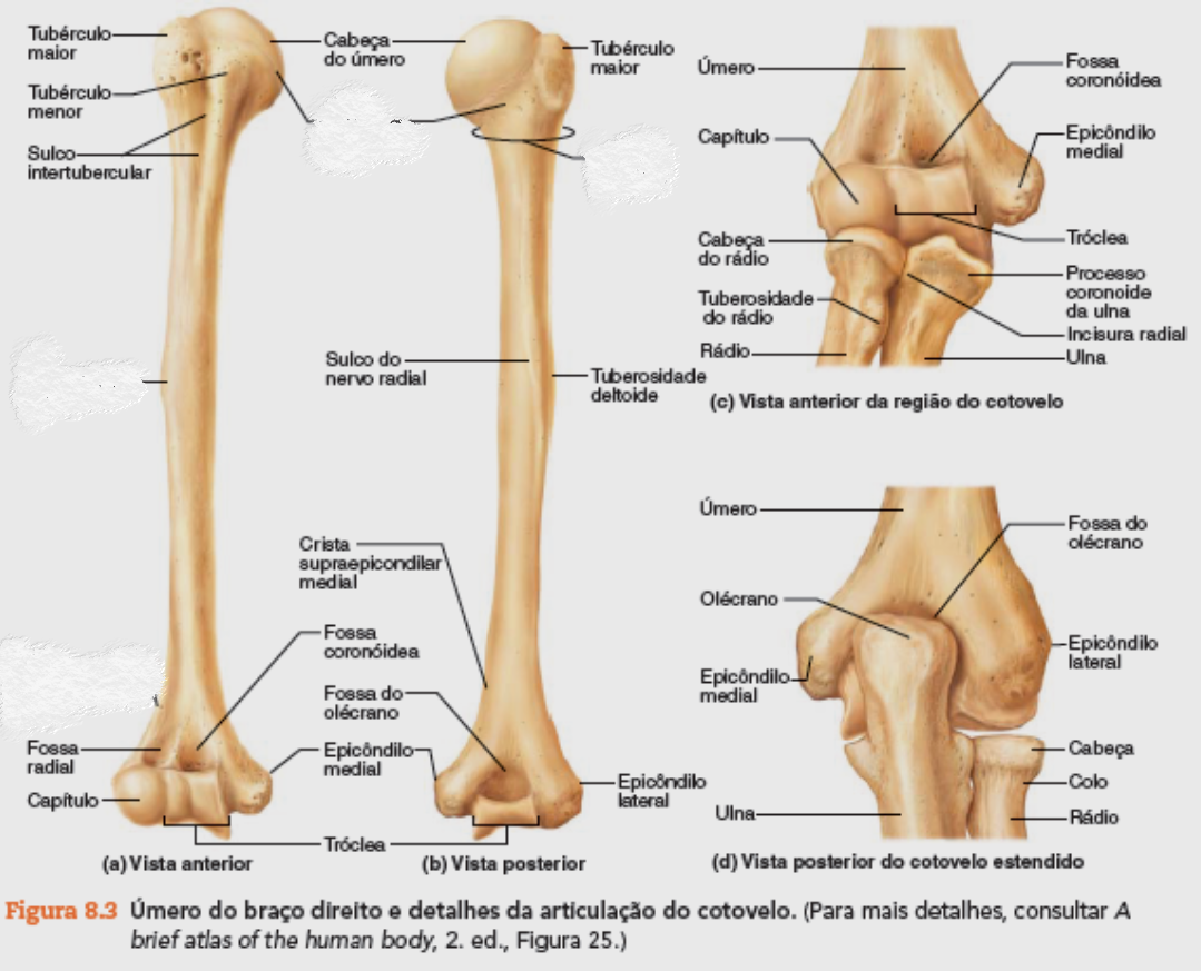 ulna = cúbito | anatomia 4 | Pinterest