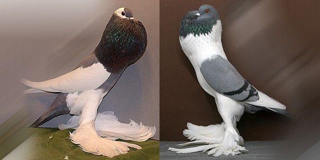 حمام النفاخ Animals Birds Bird