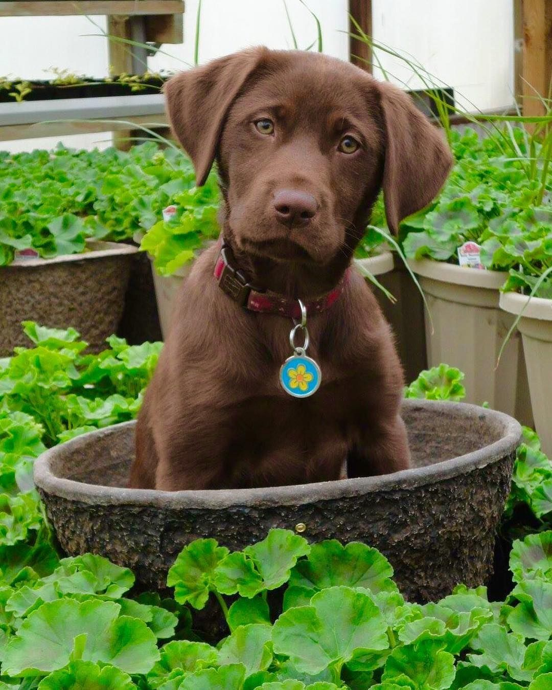 Charcoal Male 1 Lab Pupper For Sale In Manchester Iowa Puppies Cheap Puppies Puppies For Sale