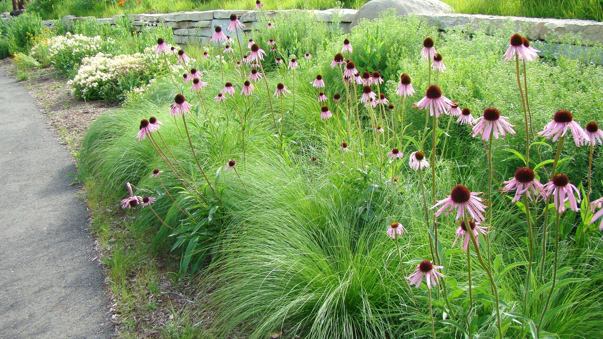 Prairie dropseed and pale purple 1 920 for Tall grass garden