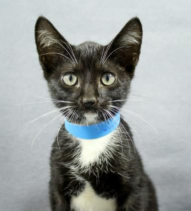 Meet Sylvester A Petfinder Adoptable Domestic Short Hair Cat Greenville Sc Petfinder Com Is The World Rsquo S Largest Datab Short Hair Cats Pet Care Pets