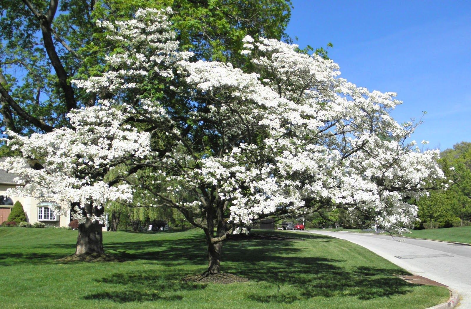 Best Dogwood Tree Dogwood trees, Dogwood tree