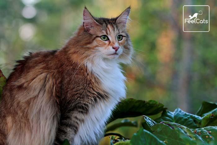 Bosque De Noruega Carácter Tamaño Origen Curiosidades Feelcats Bosque De Noruega Gatos Bonitos Razas De Gatos