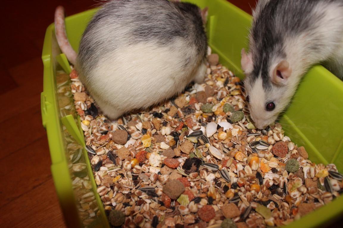 Ratten Futterbox Farbratten Ratten