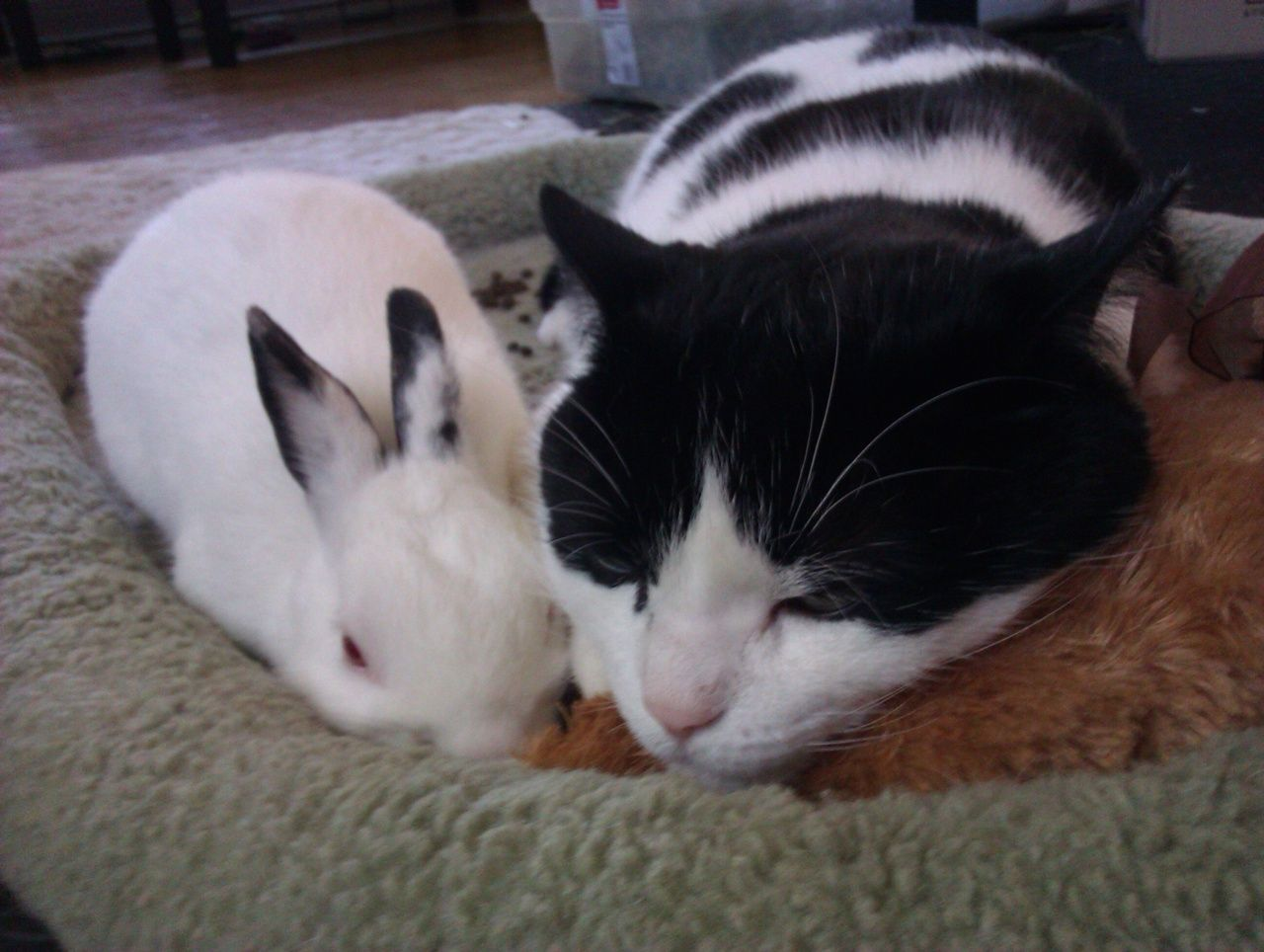 When a Cat Loves a Bunny 猫, 動物, あに
