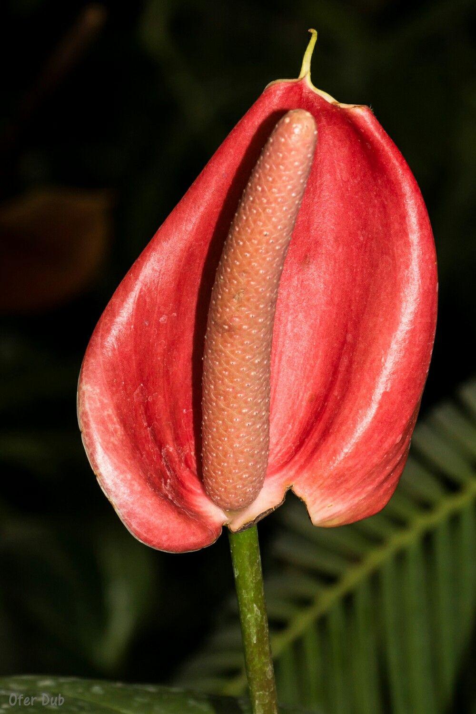 Red Flamingo Flower Flowers Pinterest Flowers