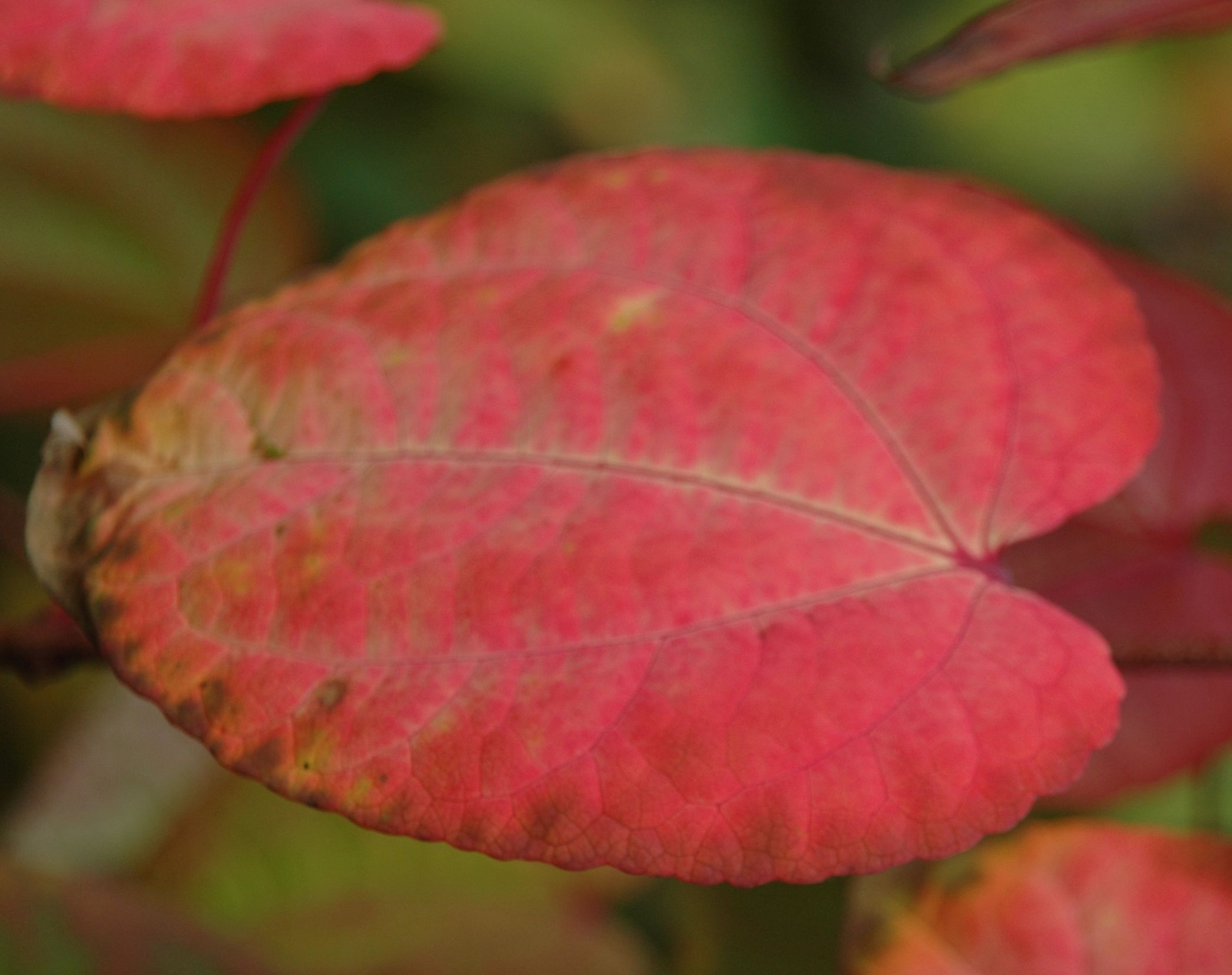 Glowing pink and red autumn colour on Cercidiphyllum japonicum ...