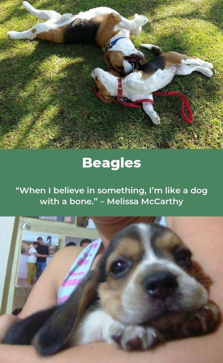 Beagle Puppy Beaglemix Beagles Puppy Bunches Of Beagles