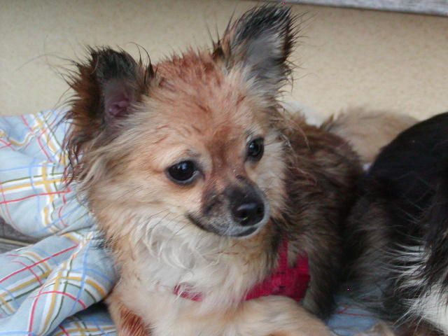 Desi Lu Our Sweet 11 Year Old Chihuahua Chihuahua Pets Long Haired Chihuahua