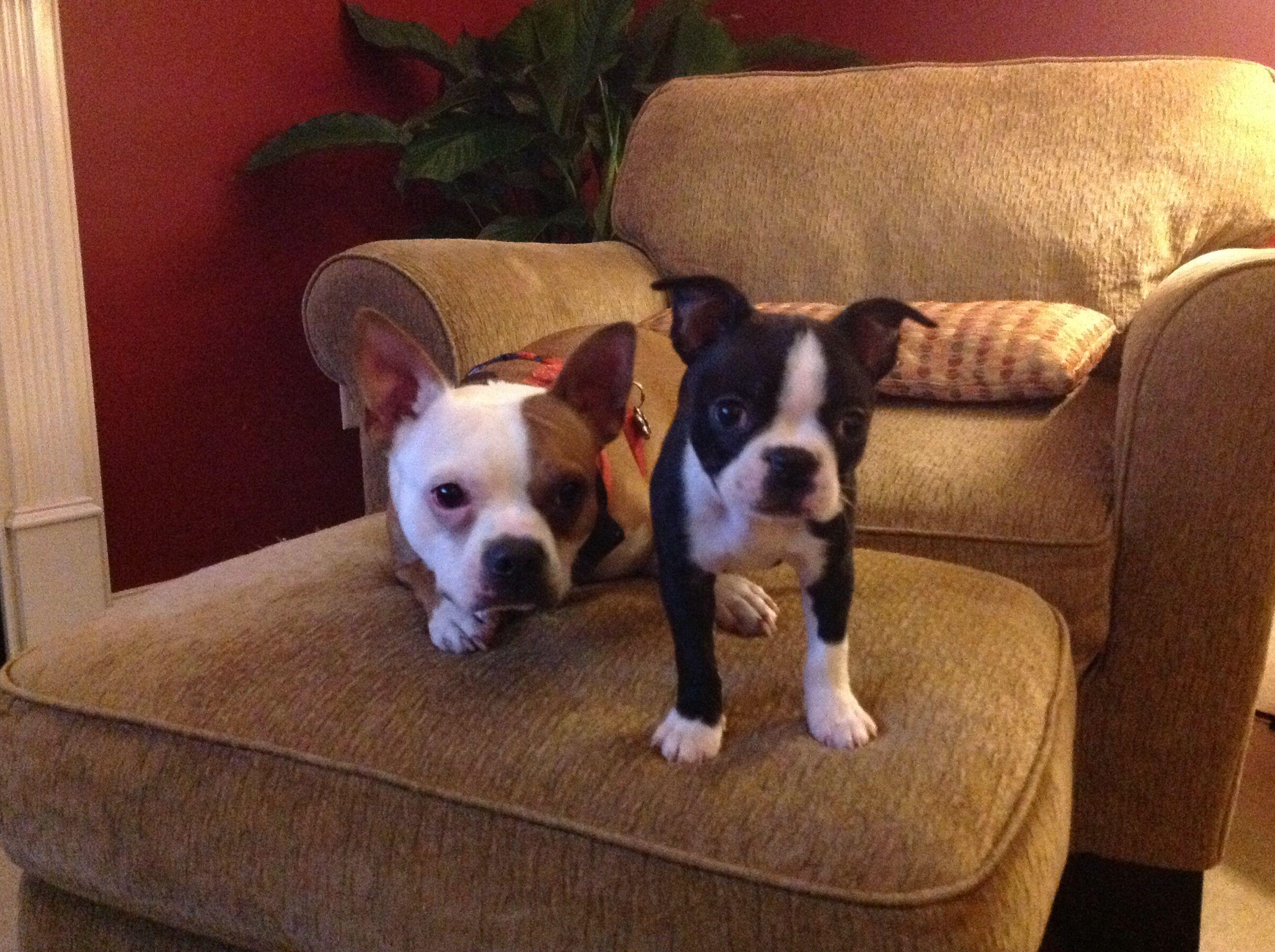 Boston Terrier And Brat Terrier Rat Dog Boston Terrier Terrier