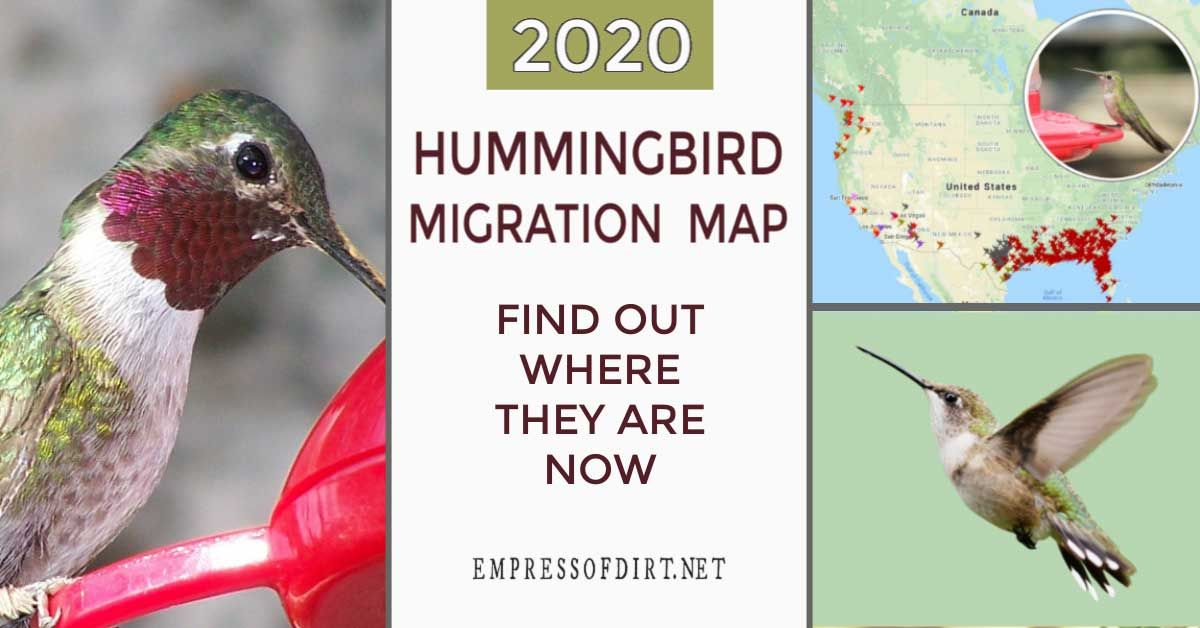 2020 Hummingbird Migration Map (Find Out When to Expect