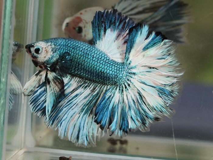 Pin By Kathi Blankenship On Beautiful Bettas Betta Fish Tank
