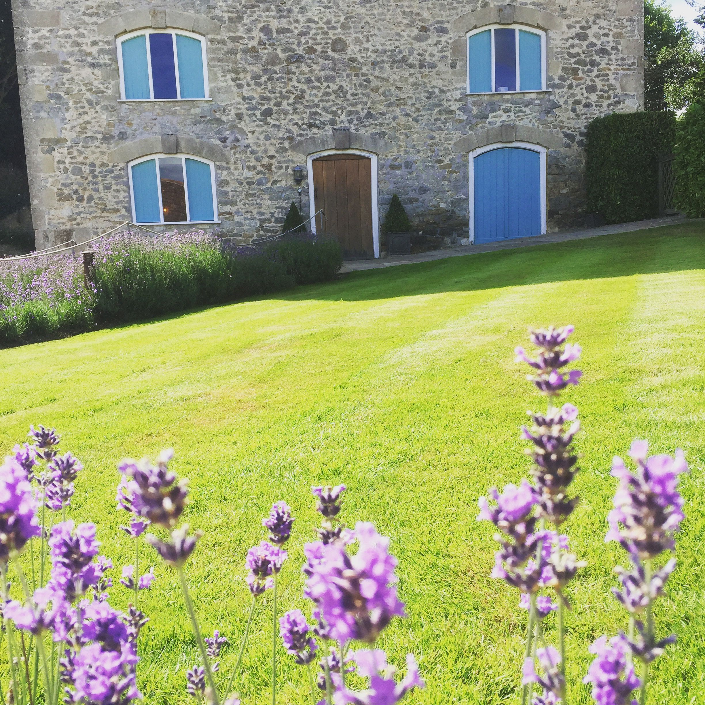 Lavender lines the path in Summer | Wedding venues ...