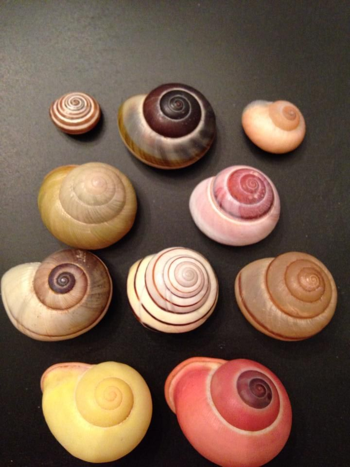 These are natural color land snails. These are from Morocco, Jamaica and Indonesia.