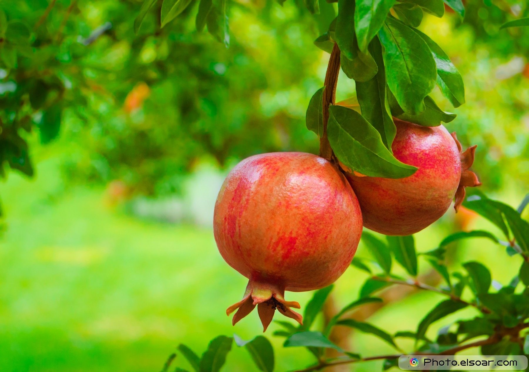 Ripe Colorful Pomegranate Fruit On Tree Branch