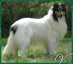 Van M Collies Website Akc Rough And Smooth Collies Champion Stock Beauties Shetland Sheepdog Sheep Dog Puppy Shetland Sheepdog Blue Merle