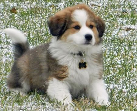 Cute Colorful Great Bernese Puppy Great Pyrenees Bernese Cross
