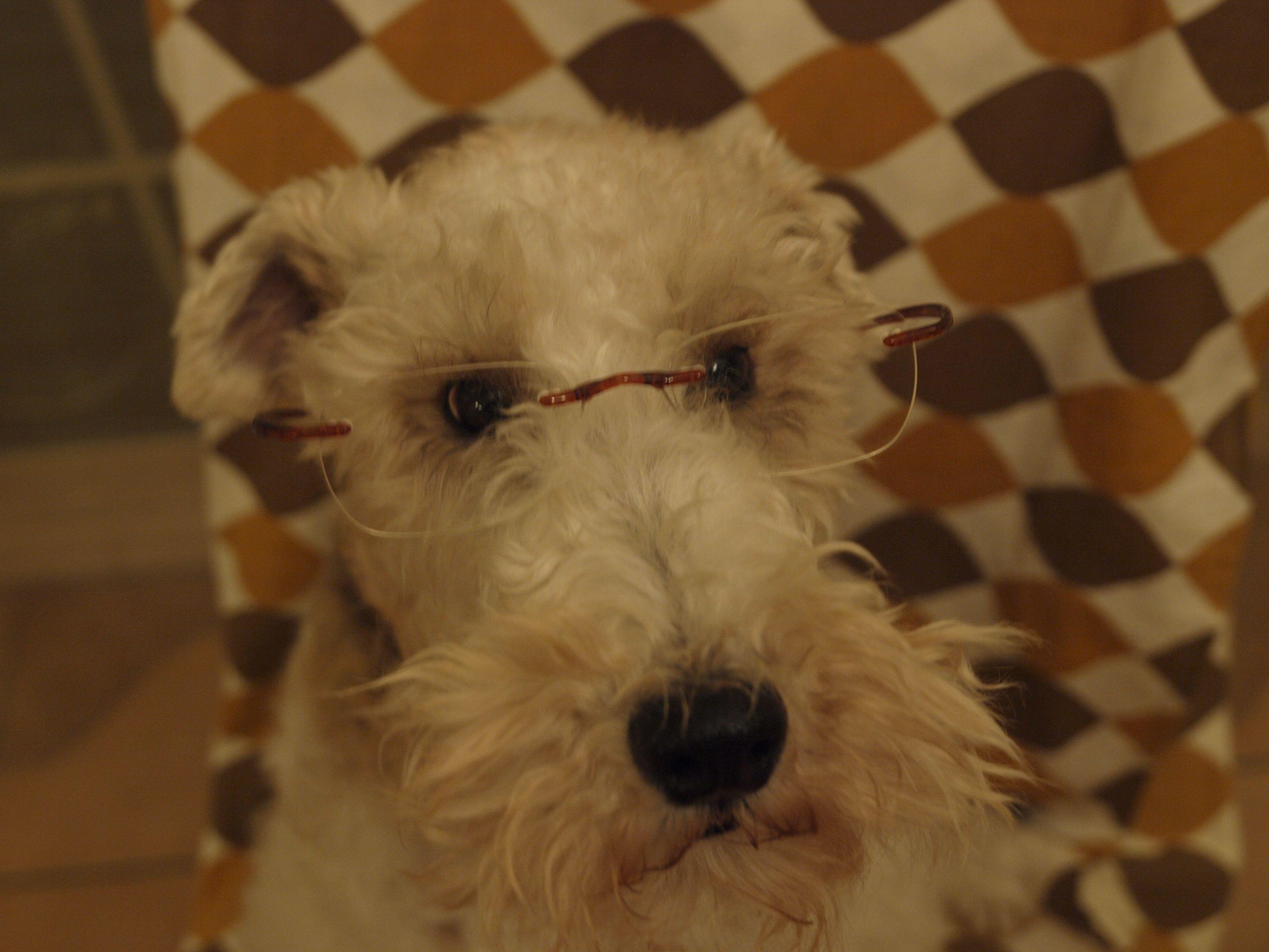 Wire fox terrier | Wire Fox Terrier | Pinterest