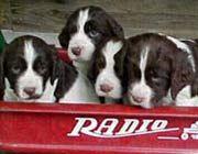 English Springer Spaniel puppies!!!!!!
