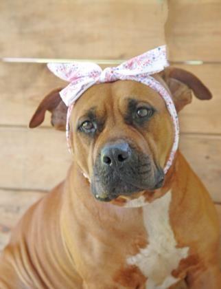 Adopt Valcurea Fire Station On Pet Adoption Dog Pounds American Bulldog Mix