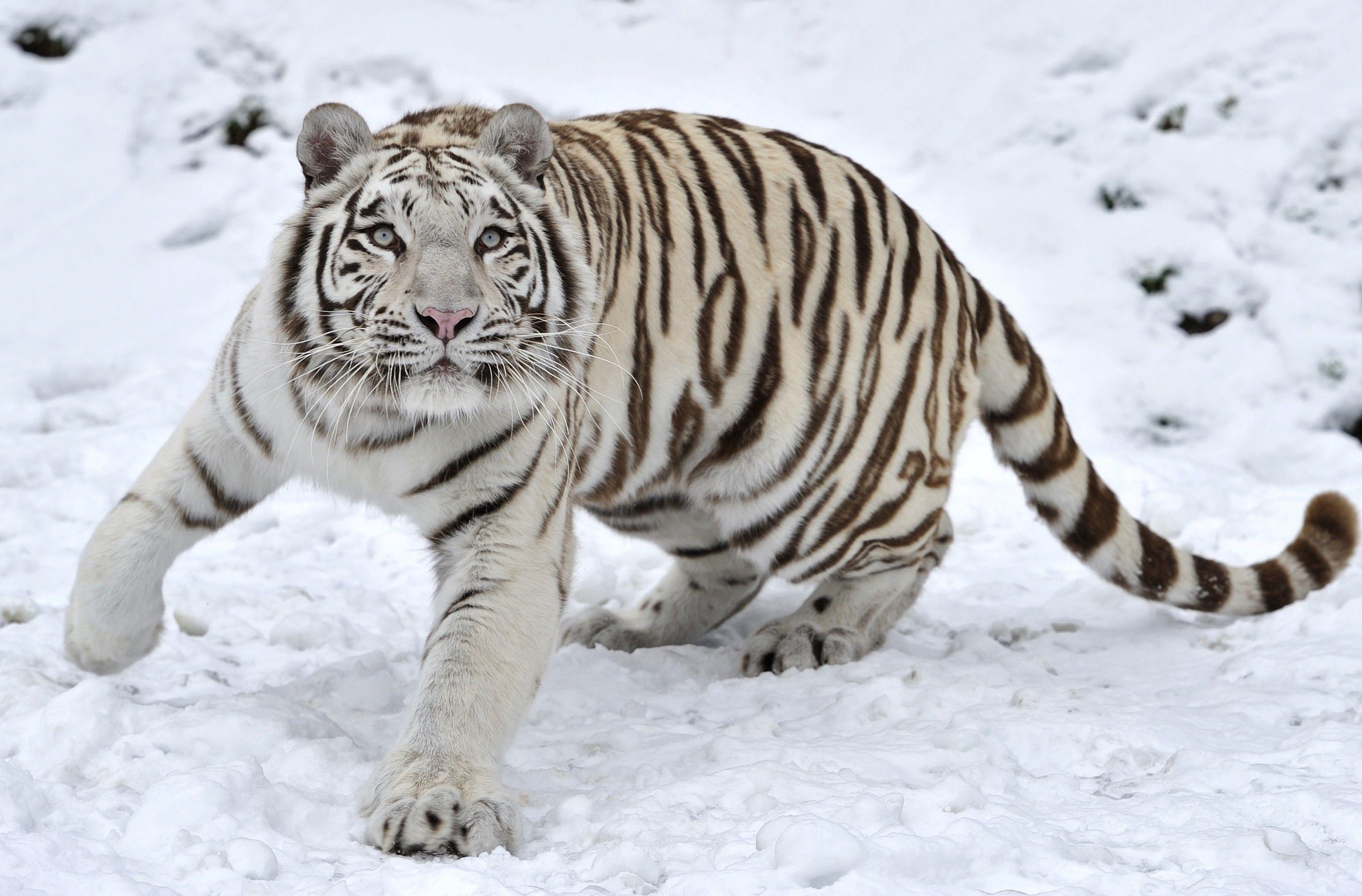 a08f08ce839df Tigre blanco hd 3200x2106 - imagenes - wallpapers gratis - Animales - fondos  de pantallas hd  2185