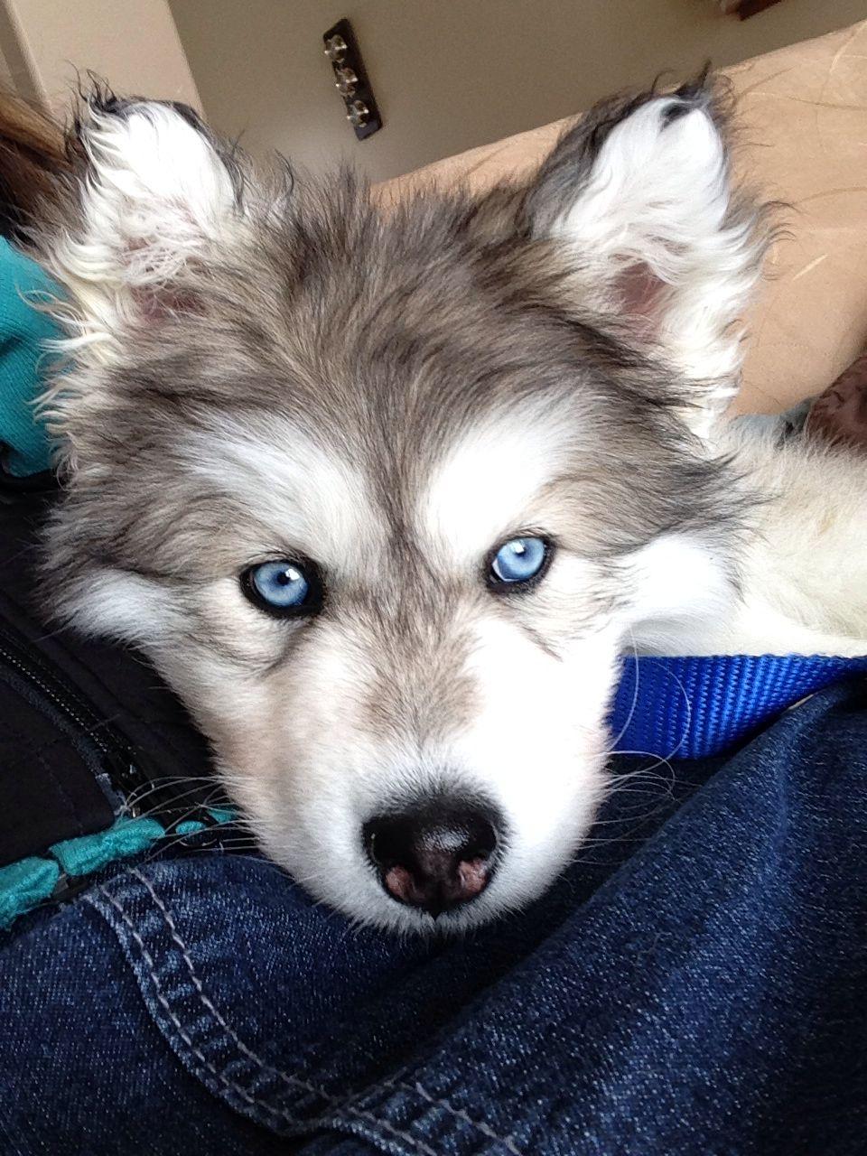 My Wolf Hybrid Damon 50 Alaskan Malamute 25 Siberian Husky 25