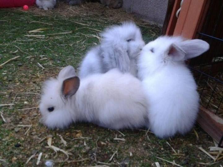 Dwarf lop rabbits - photo#42