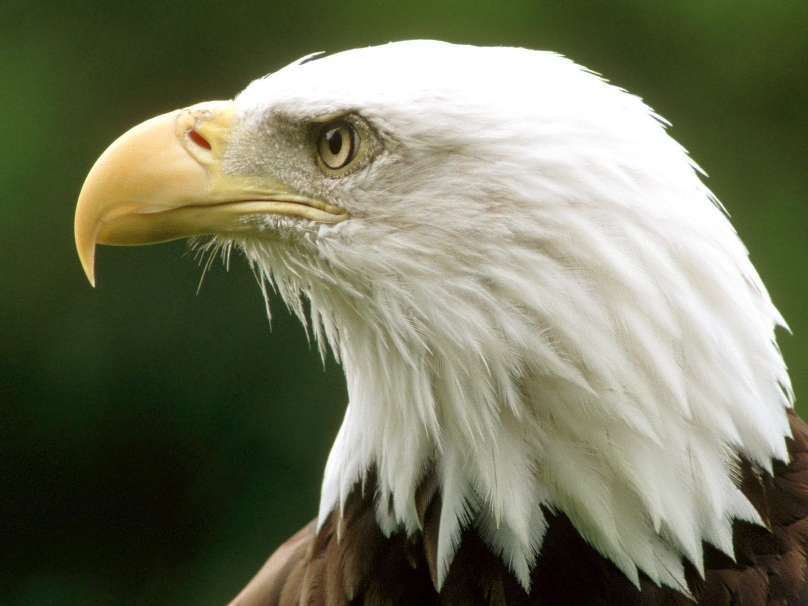 Eagle Wallpapers | Free Download Beautiful Birds HD Desktop Images ...