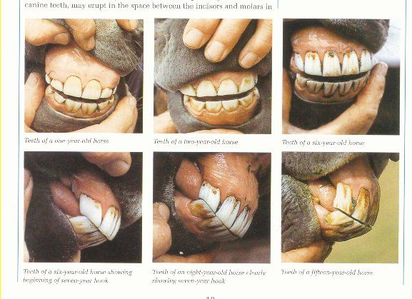 www horse teeth age chart Discuss Tooth Question at