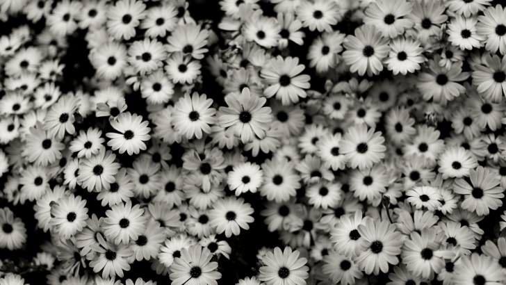 Black White Daisies Wallpaper Black And White Flowers Daisy Wallpaper White Flower Wallpaper