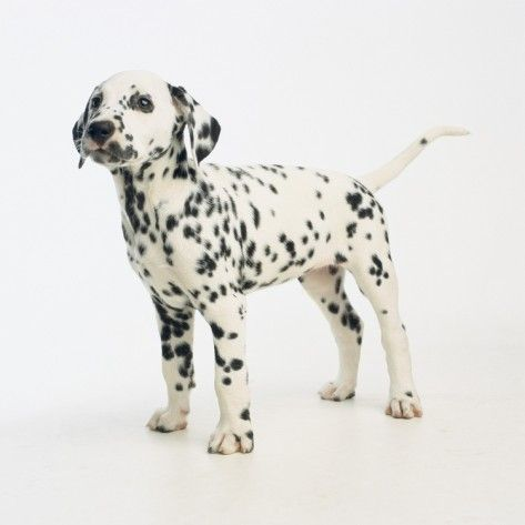 Dalmatian Puppy Photographic Print By Pat Doyle Allposters Ca Dalmatian Puppy Puppies Dalmatian