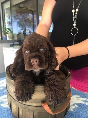 Cocker Spaniel Puppy For Sale In Lakeland Fl Adn 47511 On Puppyfinder Com Gender Male Age Cocker Spaniel Puppies Spaniel Puppies For Sale Spaniel Puppies