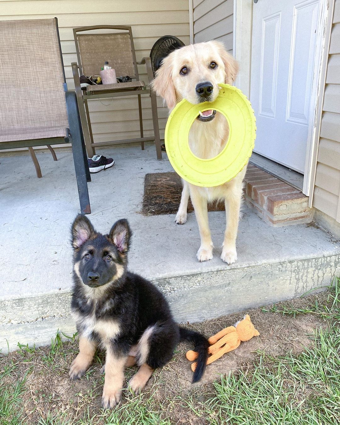 """benny the german shepherd on Instagram: """"me: a pawfect model. does not move til pic is taken . Tessa: distracted. eyes closed. would rather play fetch.  . #gsdofinstagram #gsdpuppy…"""""""