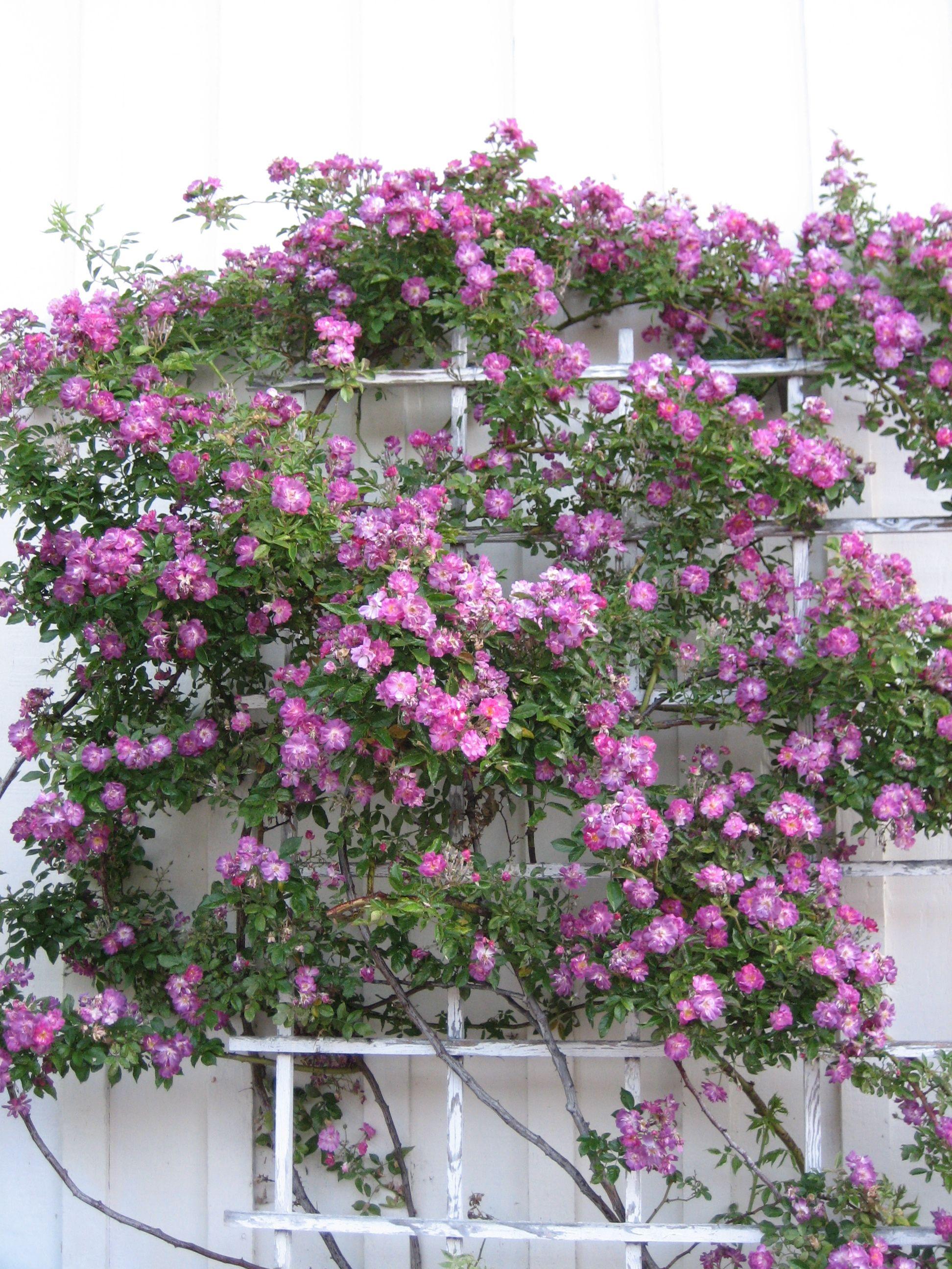 rambling rose 39 veilchenblau 39 climbing roses pinterest. Black Bedroom Furniture Sets. Home Design Ideas