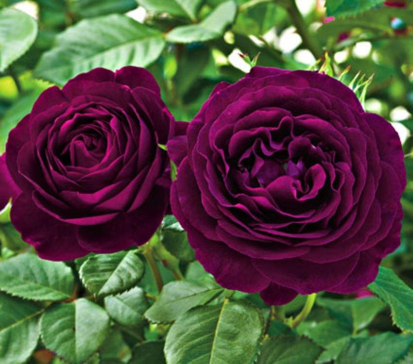 how to grow rose plant from seed