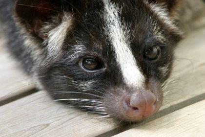 ハクビシン おしゃれまとめの人気アイデア Pinterest Takahiro 哺乳類 動物 怖い