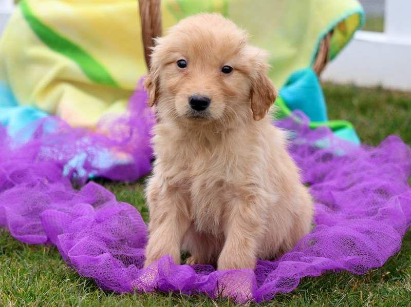Golden Retriever Puppy For Sale In Mount Joy Pa Adn 71403 On
