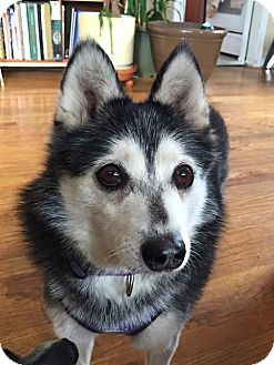 Denver Co Siberian Husky Spitz Unknown Type Small Mix Meet Miki A Dog For Adoption Http Www Adoptapet Com Pe Husky Siberian Husky Siberian Husky Mix