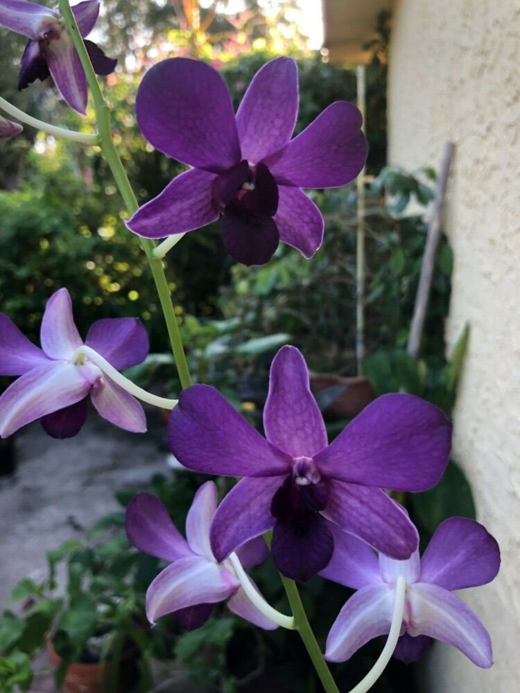 Dendrobium Violet Moon Blooming Size Orchid Orchids Rare Orchids Bloom