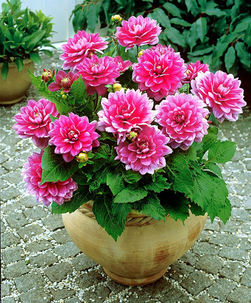 Patio Dahlia Bluesette Specials From Spalding Bulb Flower Pots Container Flowers Container Plants