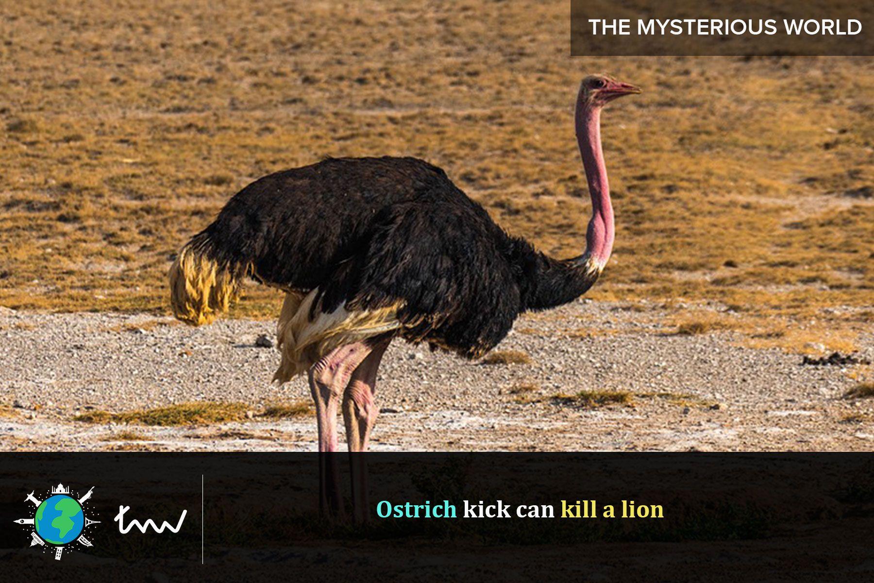 birds ostrich facts Desert animals, Ostriches, Animals