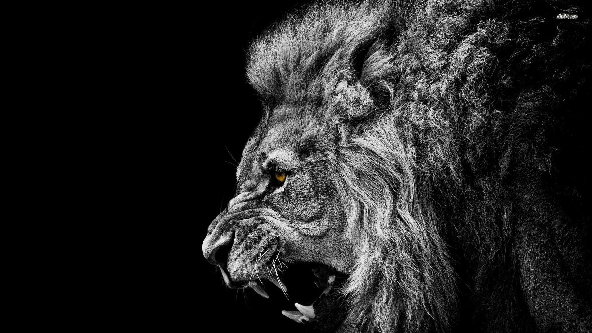 Angry Lion Wallpapers High Quality Resolution Lion Hd Wallpaper Lion Wallpaper Black And White Lion