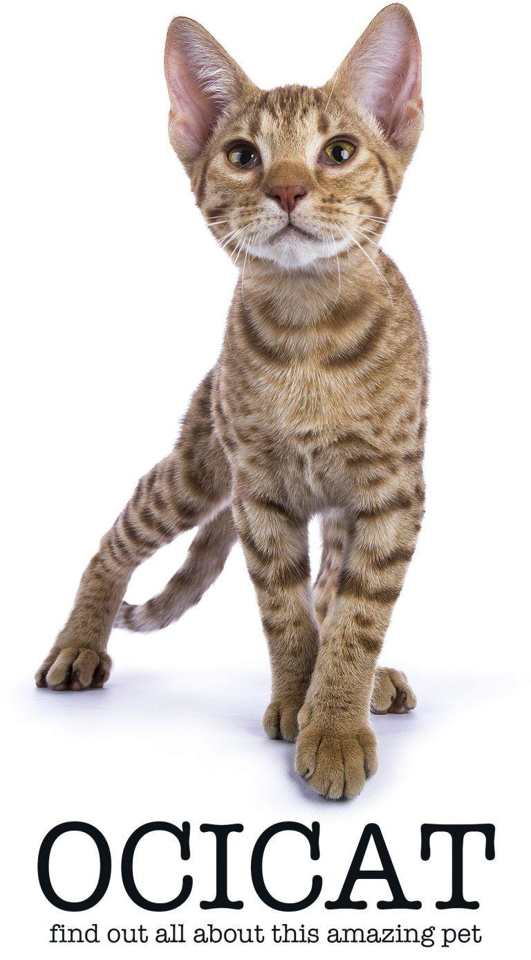 Ocicat The Amazing Pet Wild Cat's Care, Temperament And