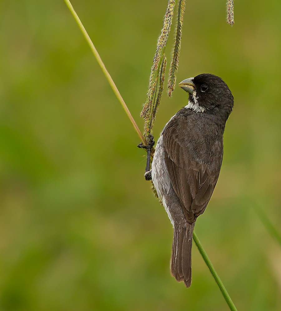 Maravilloso Totalmente Gratuito Aves Do Brasil Estilo Wiki Aves La Enciclopedia De Las En 2020 Aves Brasil Caballos Pura Sangre